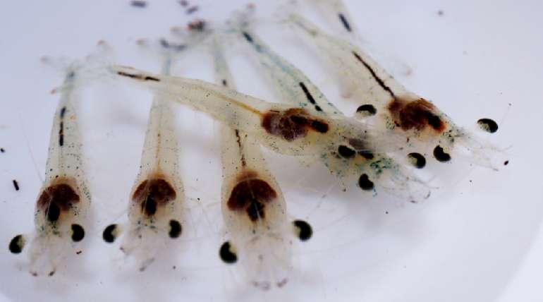 Las pseudomonas y su impacto en la cría de camarones
