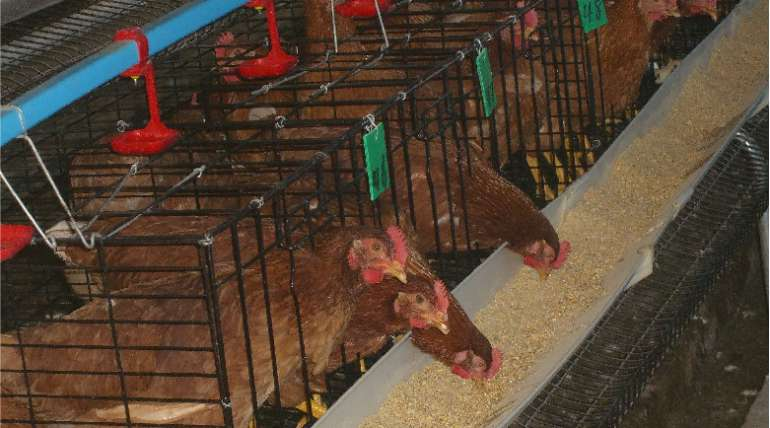 Recomendaciones para iniciar la cría de pollos de engorde