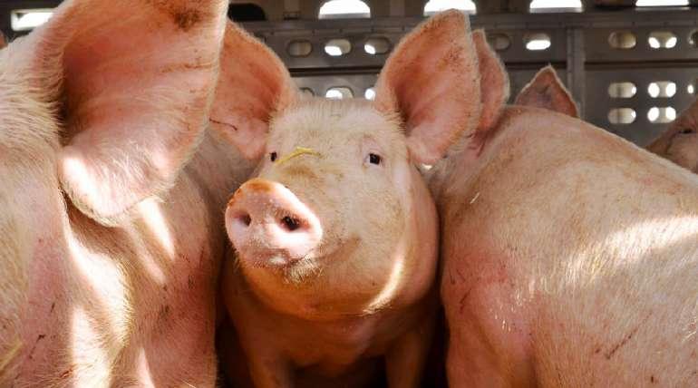 El estrés en los cerdos, ¿cómo garantizar su bienestar en el transporte?