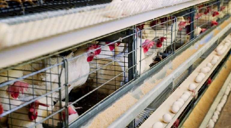 ¿Cómo gestionar gallinas ponedoras?