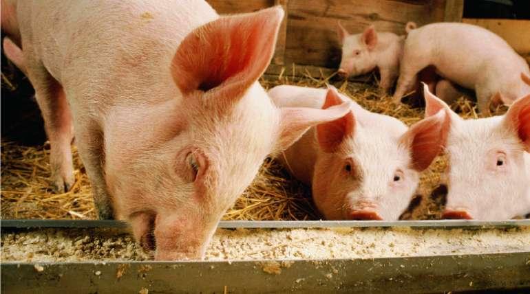 Tips para iniciar un criadero de cerdos