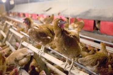 Perchas en los gallineros: importancia para la cría de gallinas