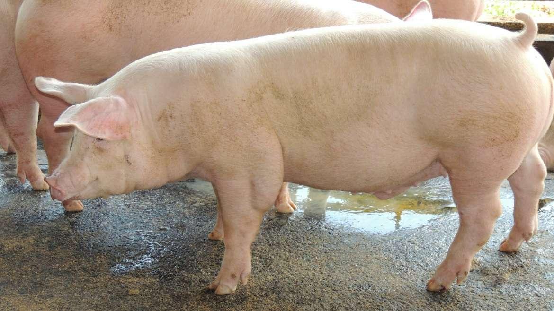 Vacunación a cerdos: ¿cuándo y para qué?