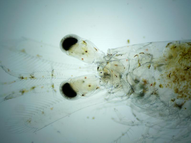 ciclo de vida de los camarones estado larval
