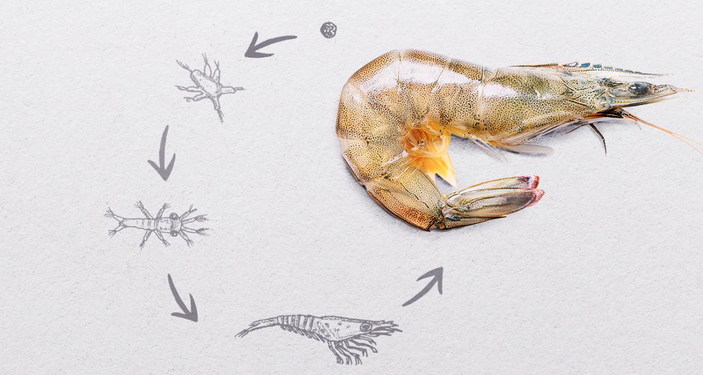 ¿Cómo es el ciclo de vida de los camarones?